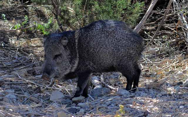 Tag 31 97 Es gibt viele wilde Schweine.