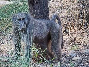 Namibia Dieser Affe hat mich zweimal bestohlen.