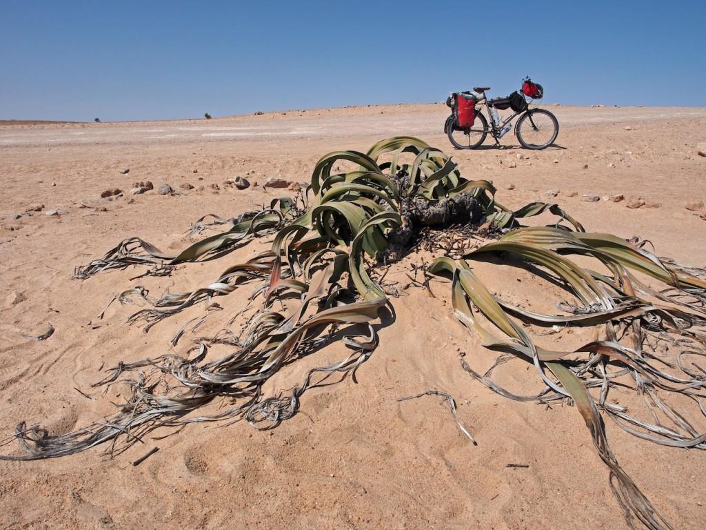 Namiba Wilwitschia bei Swakopmund.